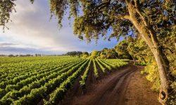 Geyserville Vineyards